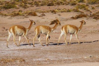 Les Vicuñas (Vigognes en français), des cousines sauvages de l'Alpaca