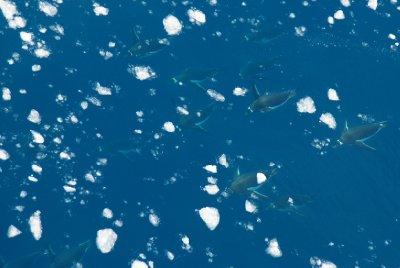 Les pingouins nagent au milieu des morceaux de glace