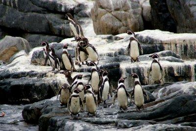 Penguins de Humbolt - Parc Pan de Azucar