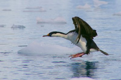 Cormorans Antarctique