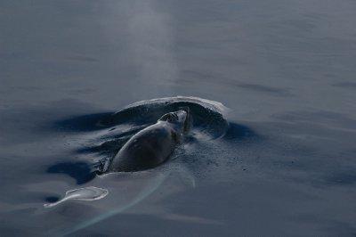Baleine Minke
