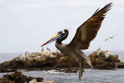Pelican - Parc Pan de Azucar