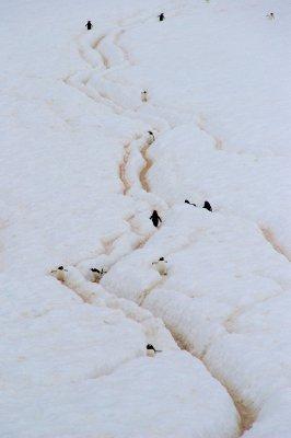 Les autoroutes des pingouins pour rejoindre leur colonie