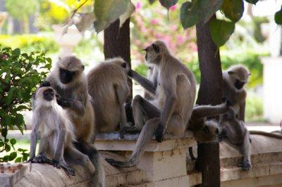 Réunion de singe - Discussions autour de la politique et dernier match de criquet