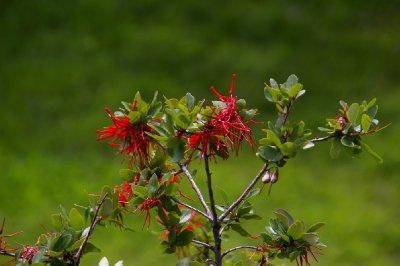 Fleurs de Notro - Parc Tierra del Fuego