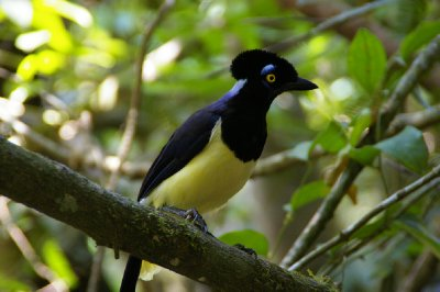 Geai Acahé - Chutes d'Iguazu