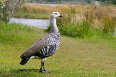 Oie de Magellan - Parc Tierra del Fuego