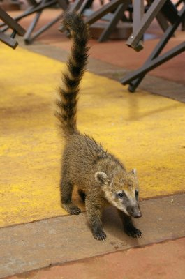 Bébé Coati - Parc national Iguazu