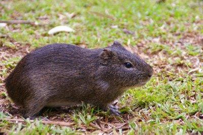 Cochon d'inde sauvage - Parc national Iguazu