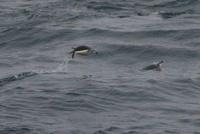 Nos premiers pingouins! Ils nagent au large des îles Shetland