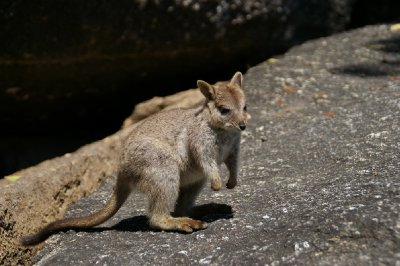 Bébé wallaby!