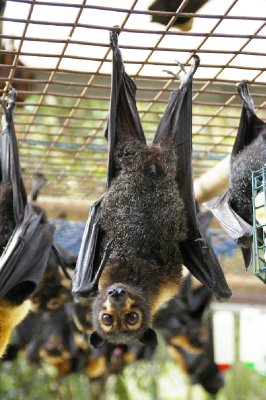 Flying Foxes - Renards volants
