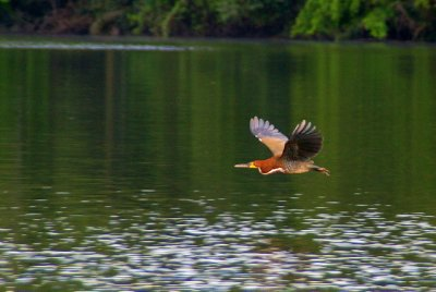 Oiseau mystère - Parc Manu