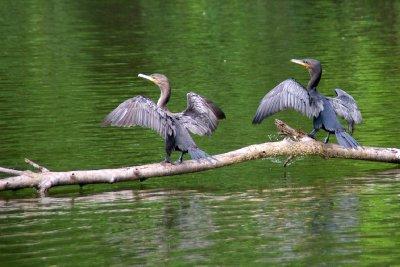 Séchage des ailes après la baignade