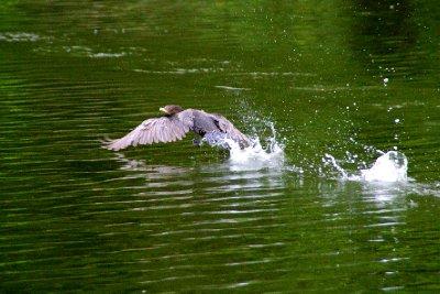 Cormoran au décolage