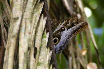 Quelqu'un vous observe - Papillon hiboux