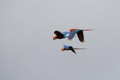 Macaws - Parc Manu