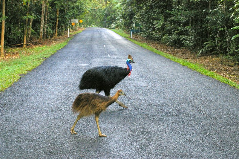 Cassowaries