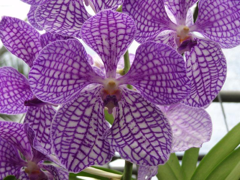 Orchidées, symbole de la Thaïlande