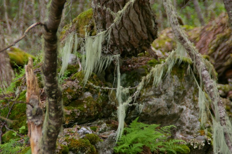 Ici les arbres sont recouverts de lichen plutôt original