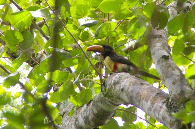 Chestnut-eared Aracari - Parc national Iguazu