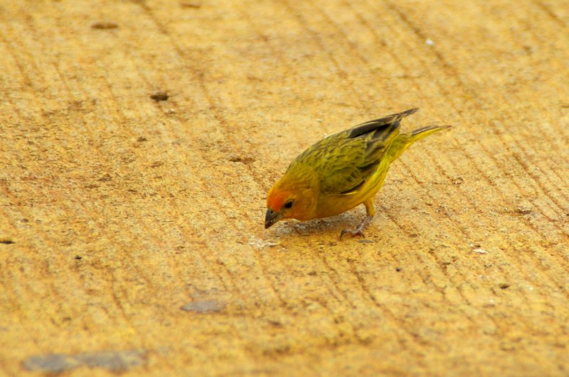 Petit oiseau Jaune ? - Parc national Iguazu