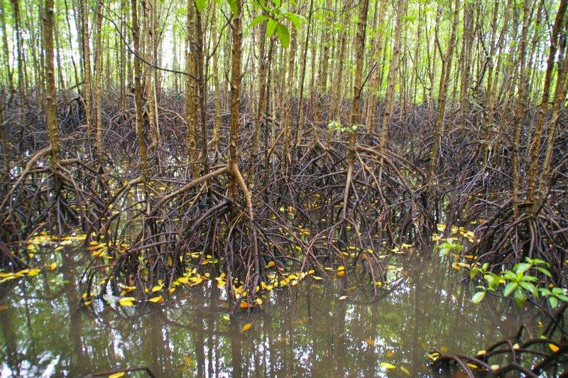 La mangrove de Koh Kong