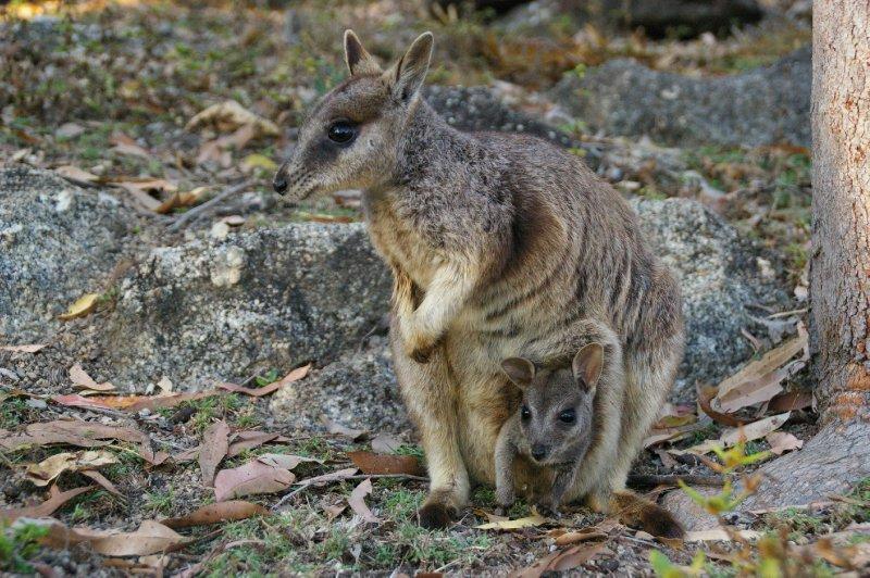 Maman et bébé wallaby