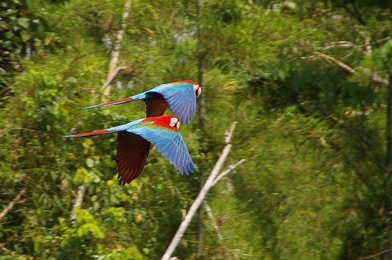 Macawa - Parc Manu