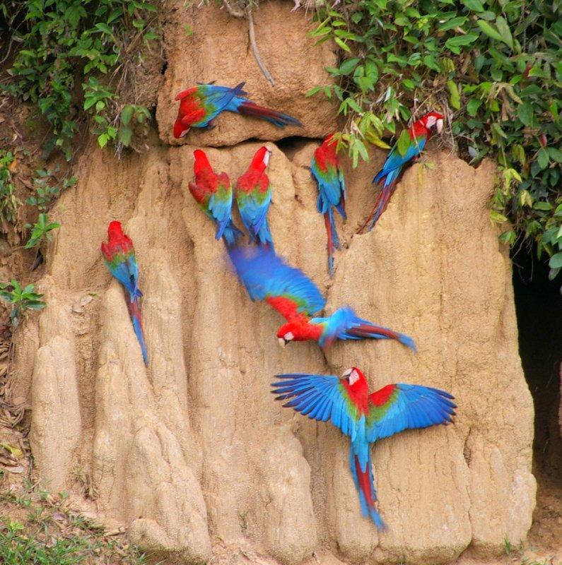 Macaw lick - Parc Manu