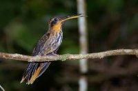 Colibri - Trindade