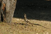 Lézard à collerette qui court