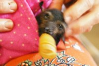 Bébé chauve-souris
