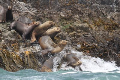 Sea lions getting into sea