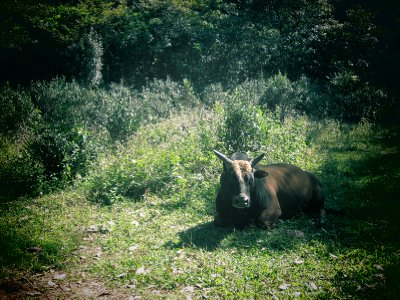 Lounging cow.