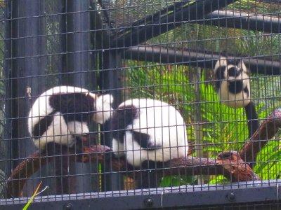 Black and White Ruffed Lemur.