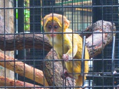 De Brazza's Monkey (baby)