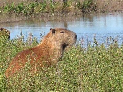 capibara1.jpg