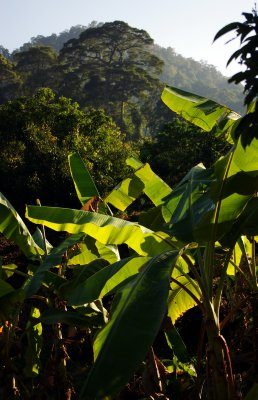 Banana trees and jungle