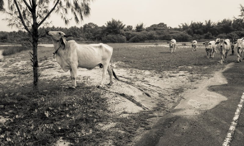 Cows approach outside the military base in Pretchuap Khiri Khan