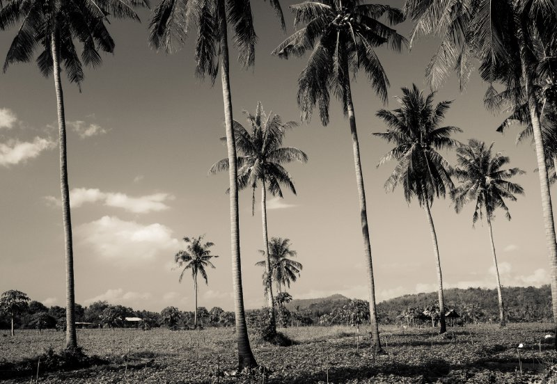 Coconut Palms, near Ban Krut