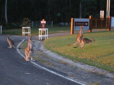 Kangaroos in Noosa