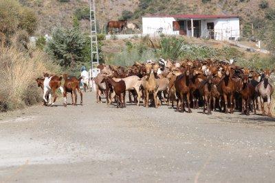 goat 10