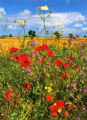 Wild Flowers on a Country Lane, Norfolk