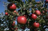 apple_picking.jpg