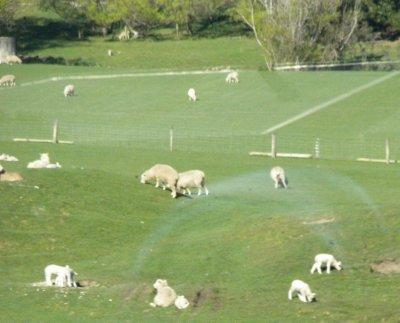 lambs_ed.jpg