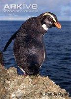 Fiordland-..guin_1_.jpg