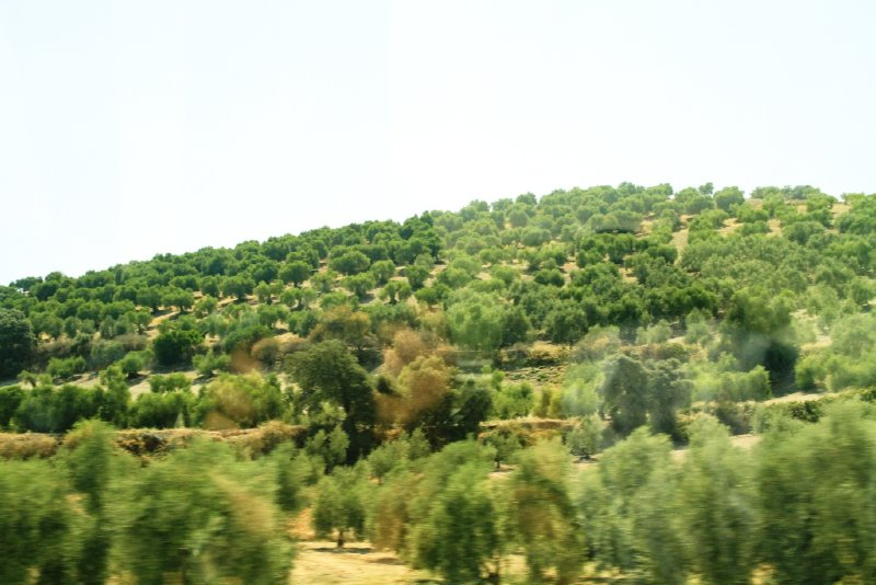 Olive plantations seen along the highway from Seville to Malaga