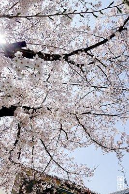 sakura blossom in osaka