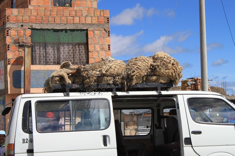 sheep on car